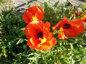 UIMI U5 Image sample, three red flowers, green grass in the background.